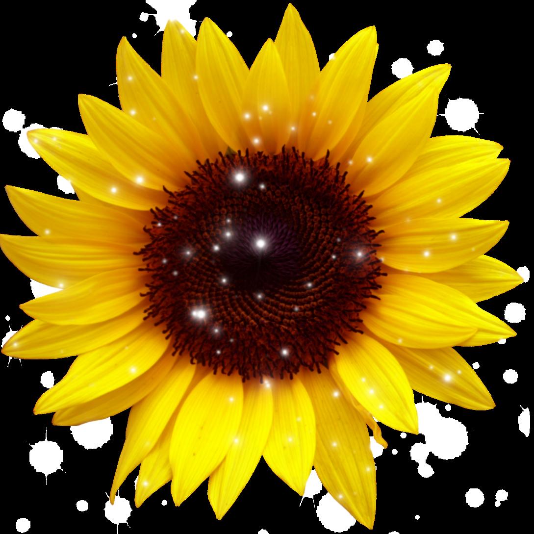 sunflower sunflowers rose roses yellowflower yellowrose...