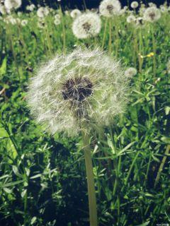 pusteblume dandelion dodgereffect green