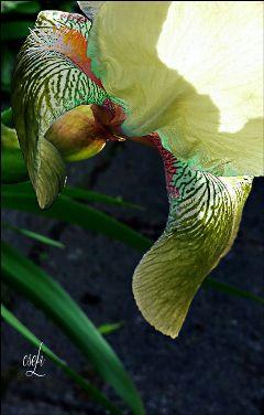 @csefi leafofflower leafart irisart photography