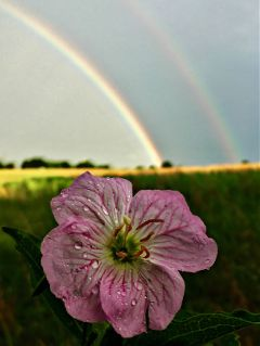 rain raindrops rainbow flower nature