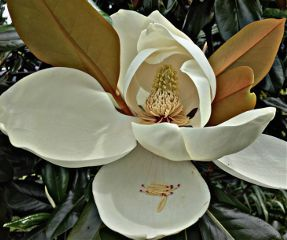 flower bloom nature naturephotography magnolia