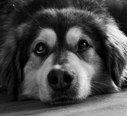 freetoedit blackandwhite dog photography petsandanimals