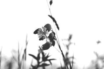 freetoedit blackandwhite flower nature