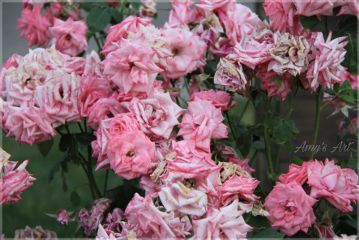 roses blossoms blooming floral petals