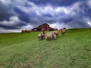 farm sheep greengrass pasture barn