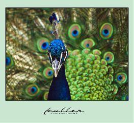 peacock pfau bird colorful nature