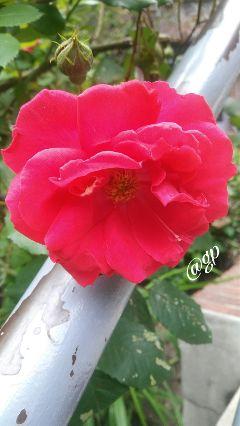 love rose weekend friday