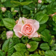 rose flowers beautifulflowers nature spring