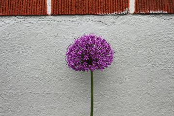 flower purple simple minimal plantsandflowers freetoedit