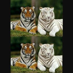 freetoedit tigres tigers animales animals