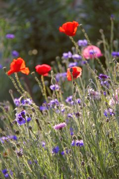 freetoedit flowers blossoms blooming poppies