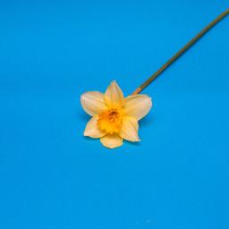 freetoedit flower yellow yellowflower spring