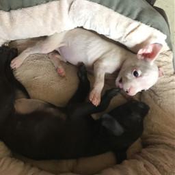 pitbullsofinstagram brucelee bella puppies pocketbully