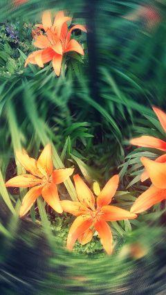 freetoedit flower lilies blur myedit