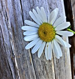 daisy flower barn nature naturephotography