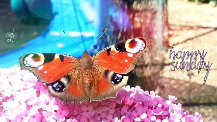 butterfly schmetterling pfauenauge beauty nopeople