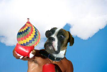 freetoedit dog boxer
