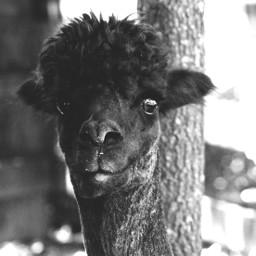 photography blackandwhite alpaca