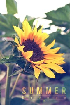 photography summervibes sunflower summer
