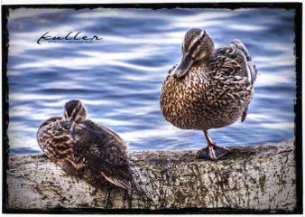 petsandanimal duck lake tegelersee emotions
