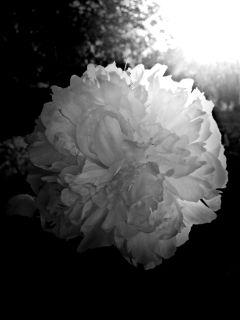 flower sunlight blackandwhite