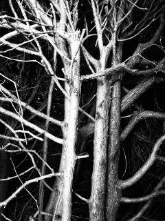 trees blackandwhite