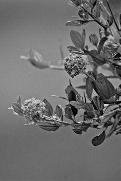 flower tree blackandwhite