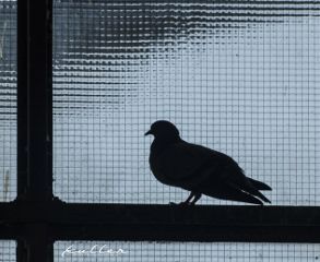 freetoedit window pigeon silhouette fotowalk