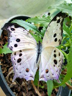 butterfly dpcbutterfly