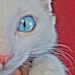 petsandanimals animals mycat blueeye vancat