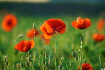 poppy poppyfield red background green freetoedit