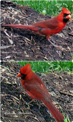 birds cardinal red petsandanimals nature