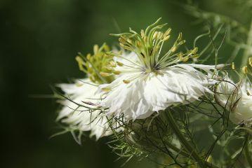 freetoedit nigella flowerphotography photography flower
