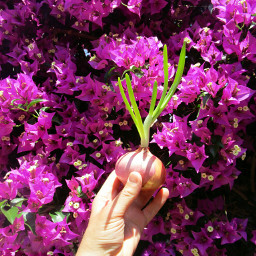freetoedit photography vegetables pink pinkandgreen