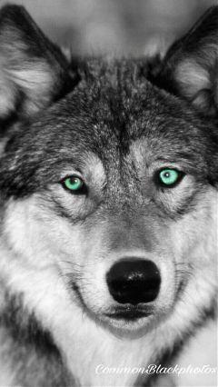wolf edit freetoedit