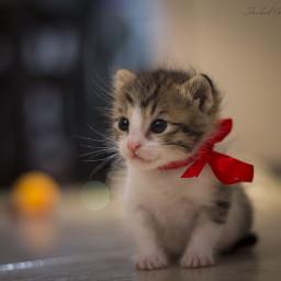 my_little_cute_cat his felfel and iran guilan rasht