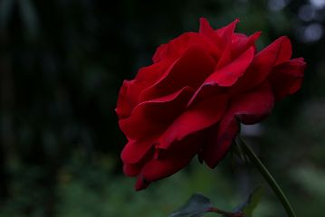 freetoedit nature rose photography contrast