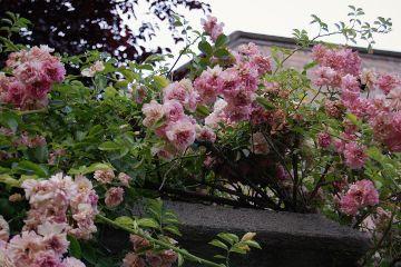 roses castle garden