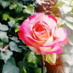 flower june beautifulrose nature pinkrose