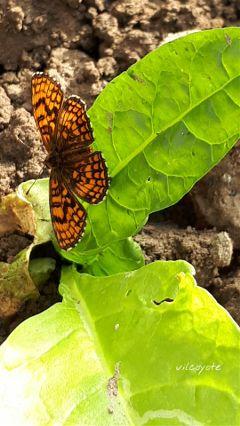 papillon naturephotography nature