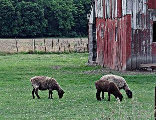 petsandanimals cute sheep barn barnyard