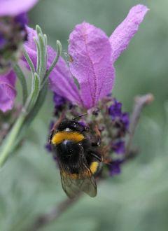 bumblebee lavender schmetterlingslavendel hummel