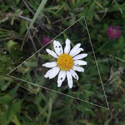 freetoedit stokrotka daisies flower edit