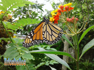 butterfly byliriosbellos fromcostarica nature purelife