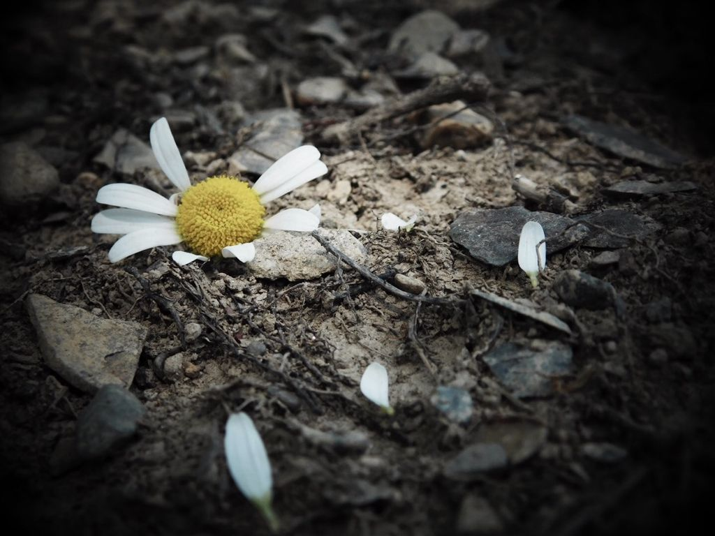 This Looks Kind Of Depressing Daisy Flower Petals Fl