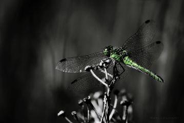 deeliriouss photography green dragonfly nature