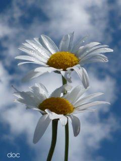 freetoedit photography daisy macro beautiful