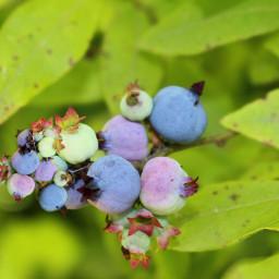 freetoedit blueberries wildblueberries canada plantsandflowers
