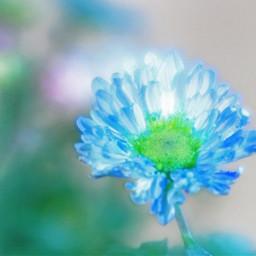naturephotography flowers mum blue