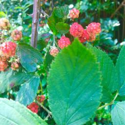 summertime fruit blackberries hikingtrails color